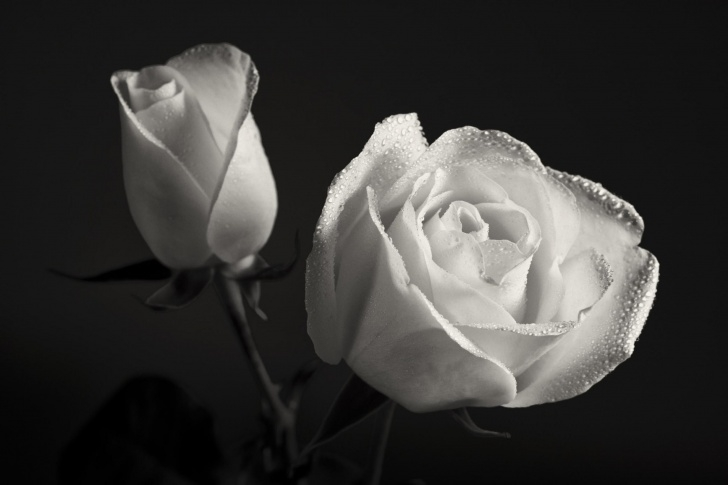 Gorgeous Roses Are Black Poem Picture039