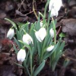 Gorgeous To A Snowdrop By William Wordsworth Pic765