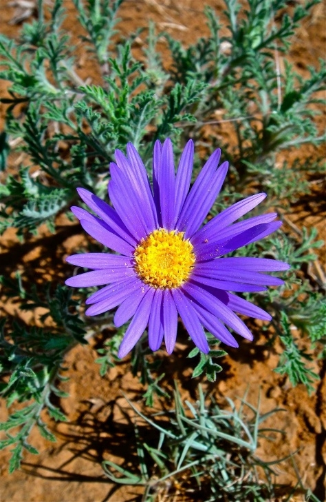 Great Aster Flower Poem Picture009