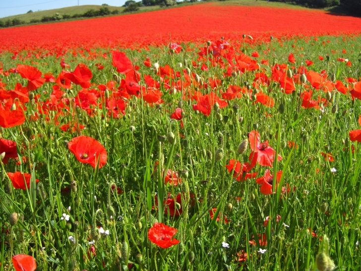 Great Flanders Field The Poppies Grow Picture792
