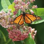 Great Milkweed And Monarch Poem Image974