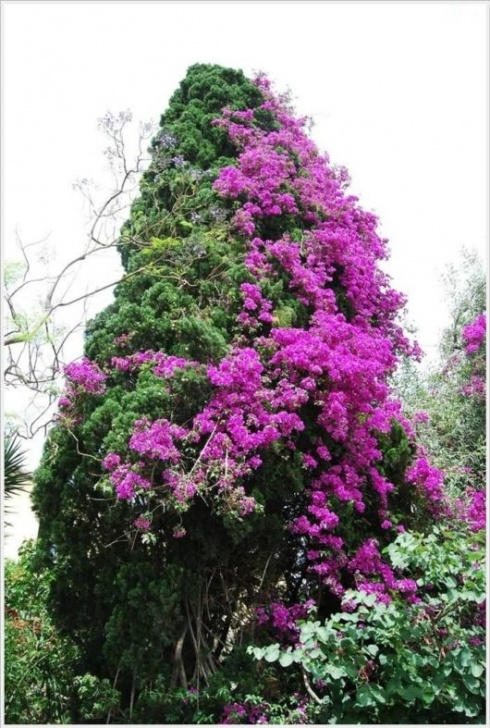 Great Poem About Bougainvillea Pics970