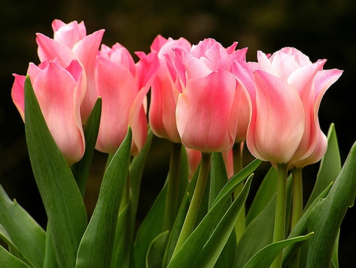Great Poem On Tulip Flower Picture695