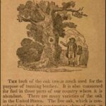 Great Poems About Acorns And Oak Trees Picture371