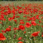 Great Poppies In July Poem Picture308
