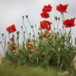 Great Poppies In October Poem Photo136