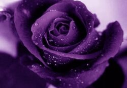 Great Roses Are Red Violets Are Purple Photo896