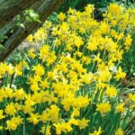 Great To The Daffodils Photo394
