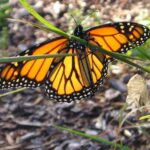 Greatest Milkweed And Monarch Poem Image374