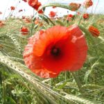 Greatest Poppies Mary Oliver Pic803