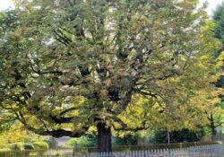 Greatest Under The Spreading Chestnut Tree Poem Picture443