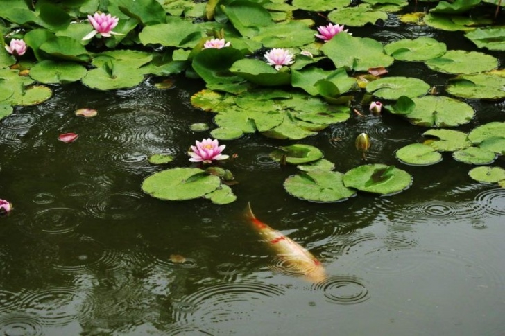 Greatest Water Lily Haiku Picture910