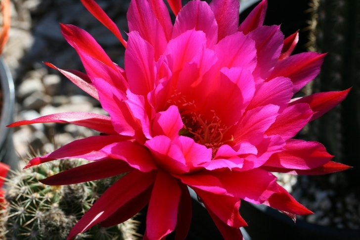 Inspirational Cactus Flower Poem Photo110