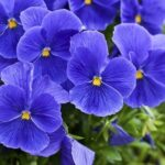 Inspirational Flowers Are Red Violets Are Blue Image895