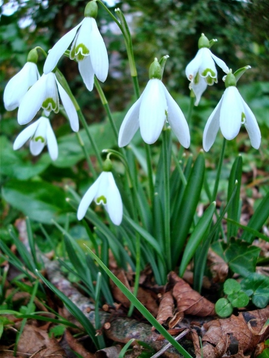 Inspirational Little Snowdrop Poem Pic402