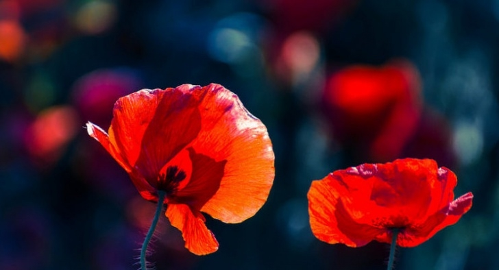 Inspirational Poppies Mary Oliver Pics183