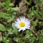 Inspirational The Little White Daisy Poem Picture089