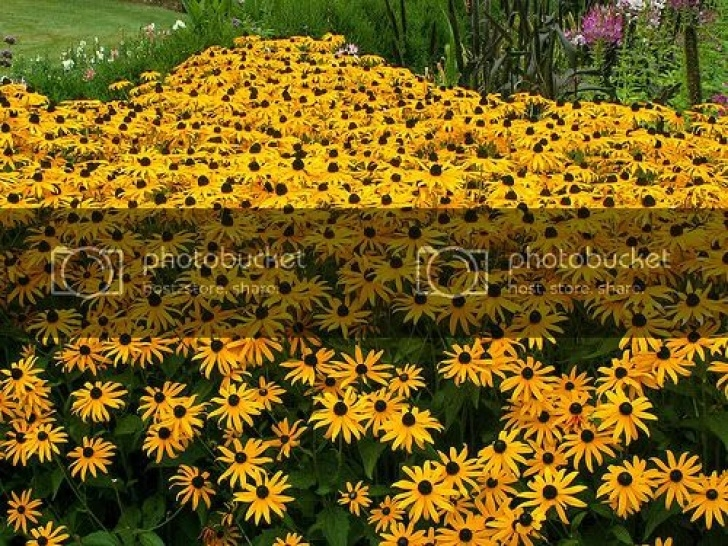 Inspiring Black Eyed Susan Poem Photo411