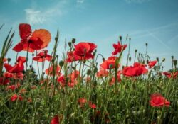 Inspiring Poem In Flanders Field The Poppies Grow Pic126