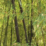 Inspiring The Bamboo Tree Poem Photo481