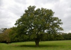 Inspiring The Mighty Oak Tree Poem Picture047