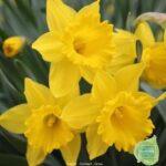 Inspiring To The Daffodils Image190