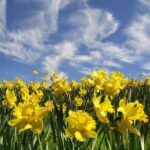 Marvelous Daffodils Of Wordsworth Pic750