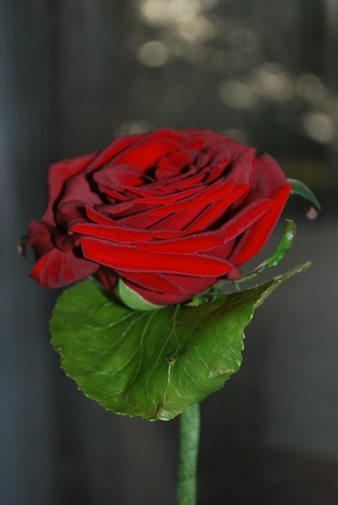 Marvelous Poem My Love Is Like A Red Red Rose Pics589