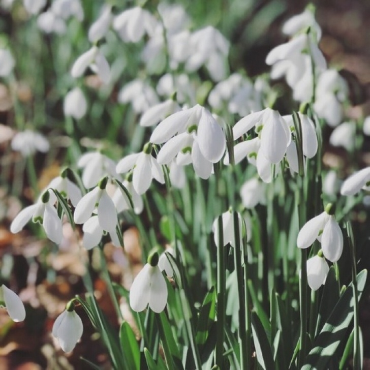 Marvelous The Snowdrop Poem Picture513