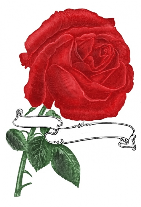 Most Famous A Single Rose Poem Pic322