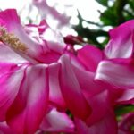 Most Famous Christmas Cactus Poem Photo509