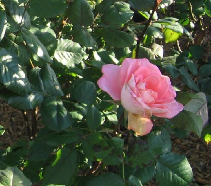 Most Famous Dorothy Parker One Perfect Rose Photo103