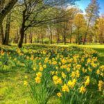 Most Famous Field Of Daffodils Poem Pic721