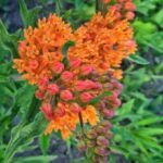 Most Famous Milkweed And Monarch Poem Photo156