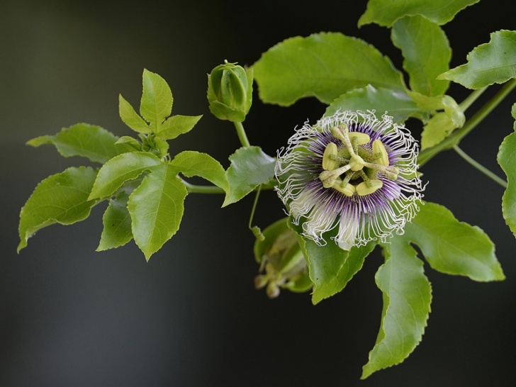 Most Famous Passion Flower Poem Picture830