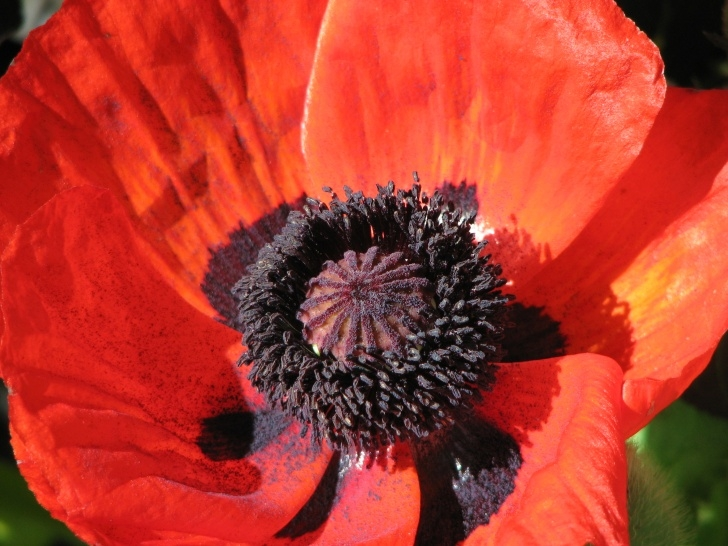 Most Famous Poem In Flanders Field The Poppies Grow Pics946