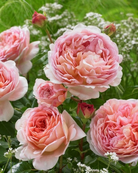 Most Famous Poem On Rose Flower In English Image736