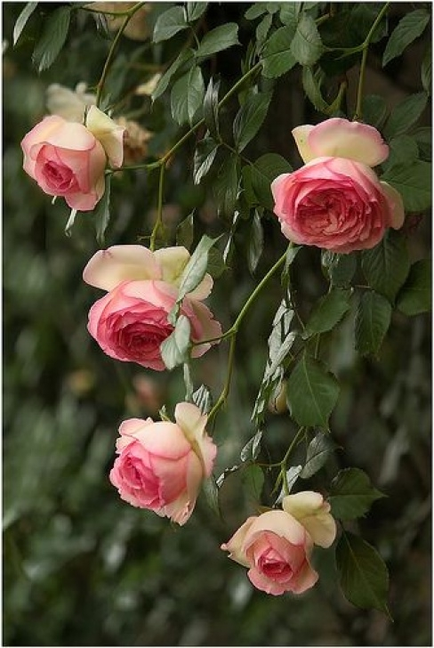 Most Famous Ronsard Rose Poem Pic548