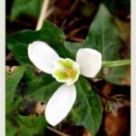 Most Famous The Little Snowdrop Poem Photo142