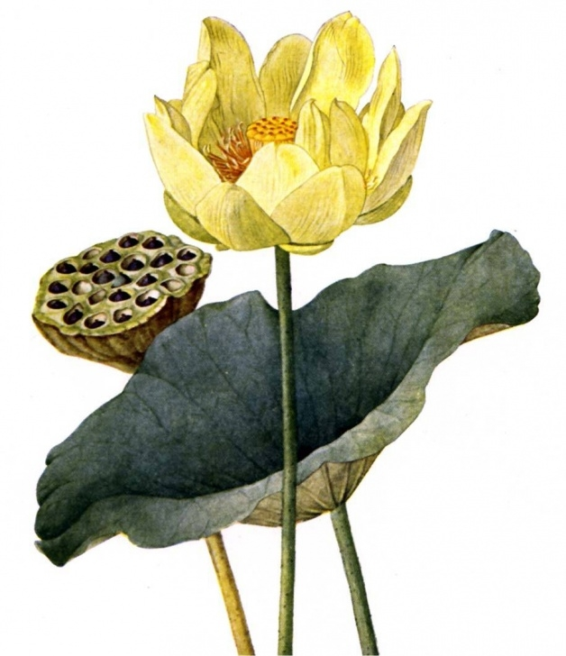 Most Famous The Lotus Flower Poem By Heinrich Heine Image581