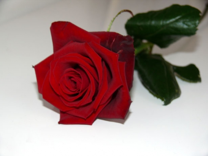 Most Iconic A Single Rose Poem Photo805