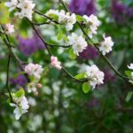 Most Iconic Amy Lowell Lilacs Pic055