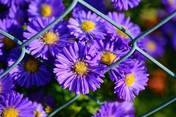 Most Iconic Aster Flower Poem Image062