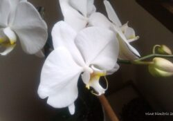Most Iconic Orchid Poem Famous Image916