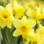 Most Iconic Poem About Daffodils Spring Photo830