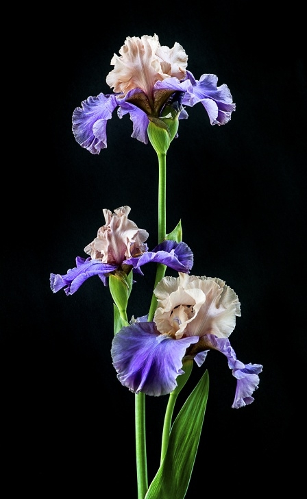Most Iconic Poems About Irises Pic666