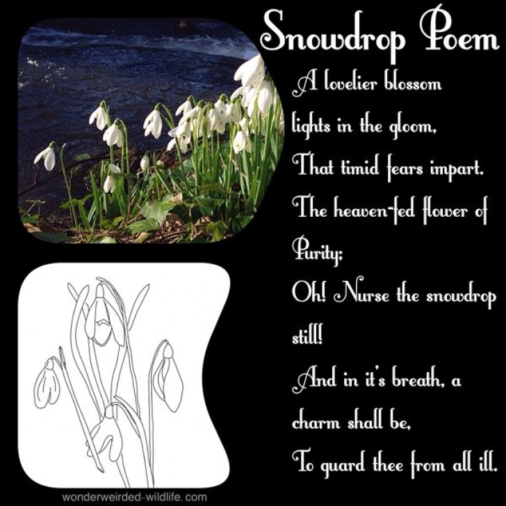 Most Iconic Snowdrop Poem Ted Hughes Image934