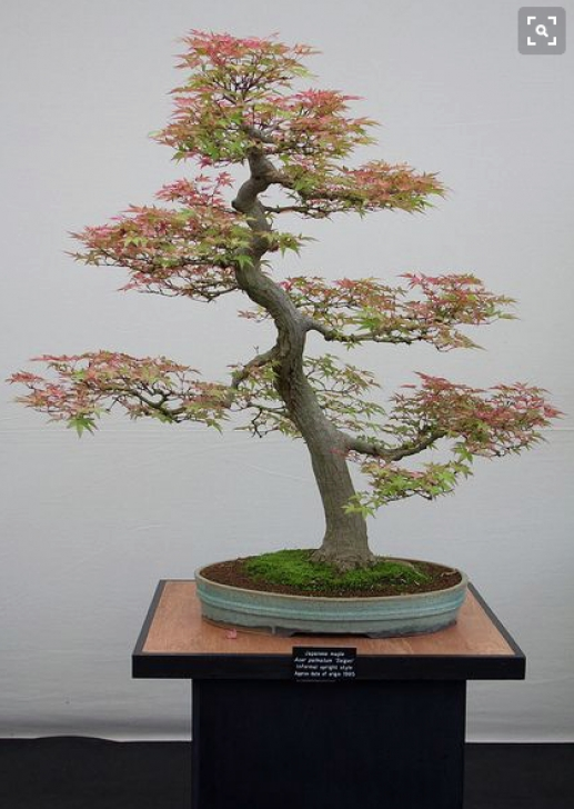 Most Iconic The Bonsai Tree Poem Pic277