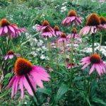 Most Iconic Wild Asters Poem Photo116