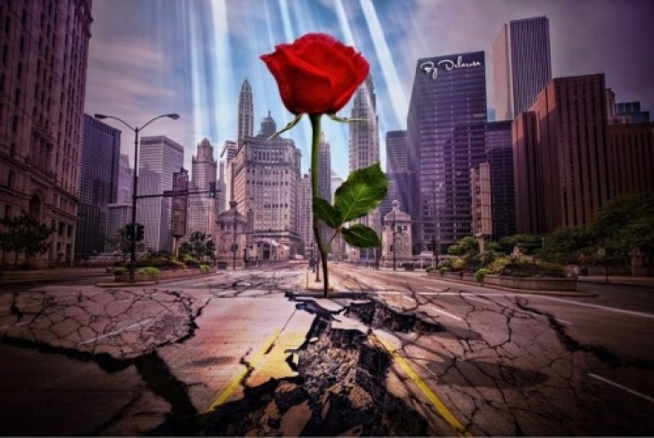 Most Popular A Rose Growing In Concrete Picture264